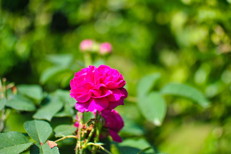 Jardin Essences Naturelles Corses Fleur Rose