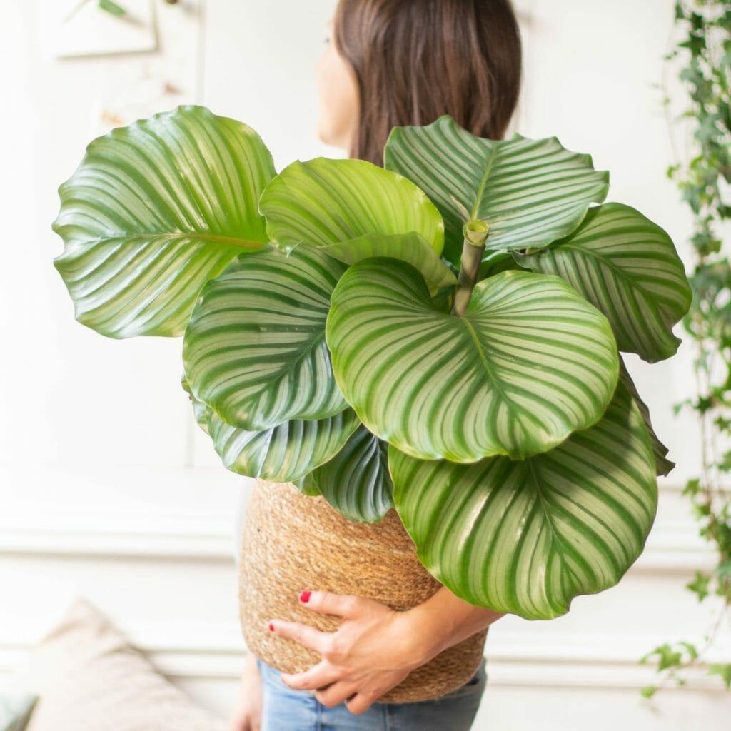 plante verte, plante verte d'interieur, plante verte calathea