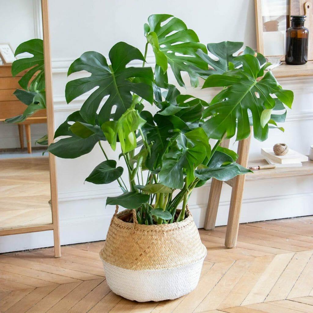 plante verte, plante verte d'interieur, plante monstrea